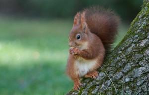 visuel-ecureuil-roux8