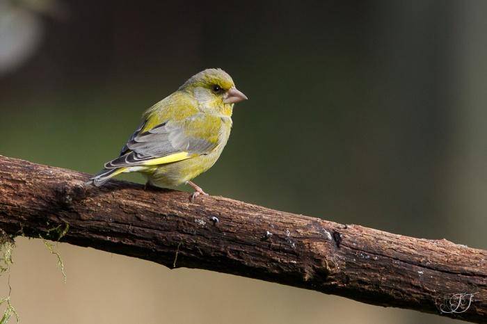 Verdier d'Europe-Domaine des oiseaux 05.03.2016