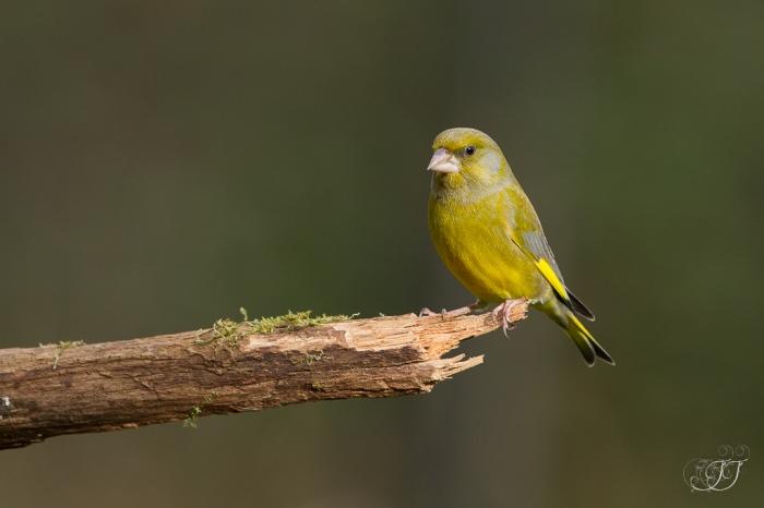 Verdier d'Europe-Domaine des oiseaux 10.01.2016