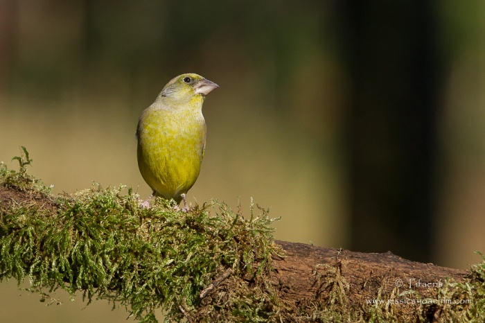 Verdier d'Europe-Domaine des oiseaux 07.11.2015