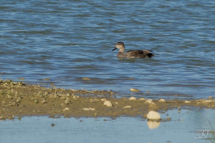 Canard chipeau-Domaine des oiseaux 27.03.2016