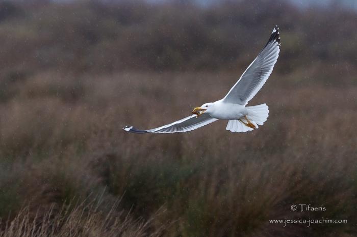 Goéland leucophée-Réserve ornithologique du Teich 21-22.02.2015