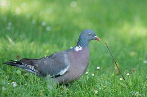 Pigeon ramier 5