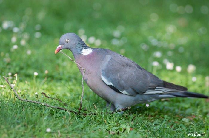 Pigeon ramier 6