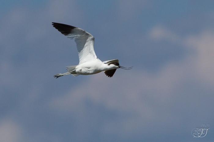 Avocette élégante-Réserve ornithologique du Teich 05.06.2015