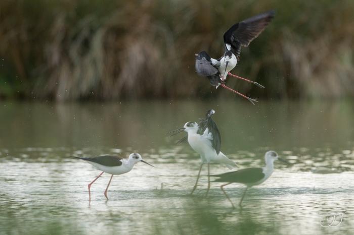 Échasse blanche-Domaine des oiseaux 26.04.2016