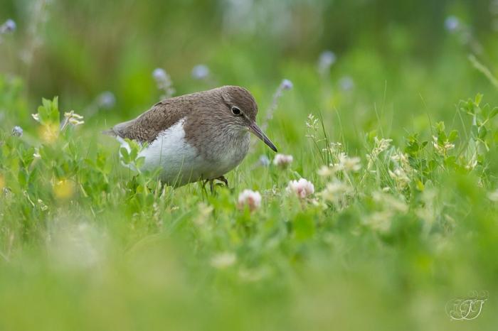 Chevalier guignette-Domaine des oiseaux 26.04.2016