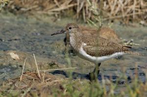 Chevalier guignette-Réserve ornithologique du Teich 18.08.2014