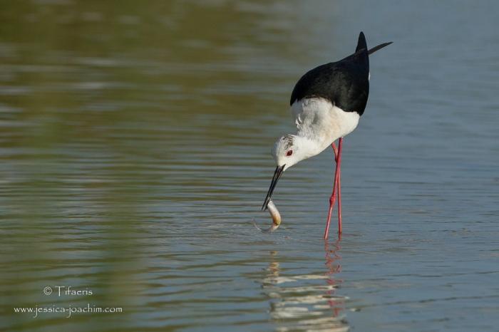 Echasse blanche-Domaine des oiseaux 26.05.2015