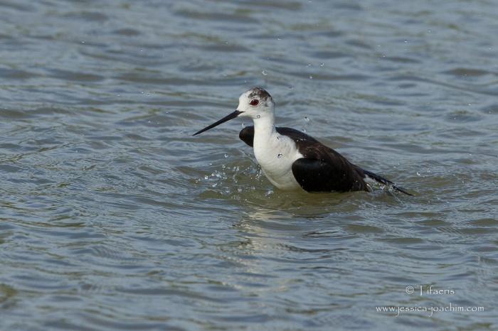 Echasse blanche-Domaine des oiseaux 13.06.2015