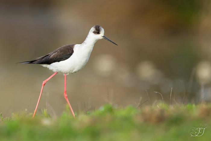 Echasse blanche-Domaine des oiseaux 28.03.2016