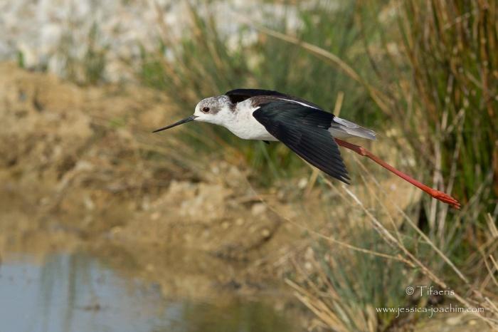 Echasse blanche-Domaine des oiseaux 11.04.2015