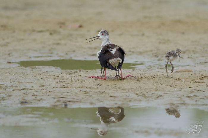 Echasse blanche-Domaine des oiseaux 11.06.2016