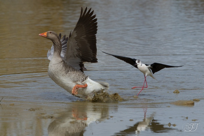 Echasse blanche-Domaine des oiseaux 27.03.2016