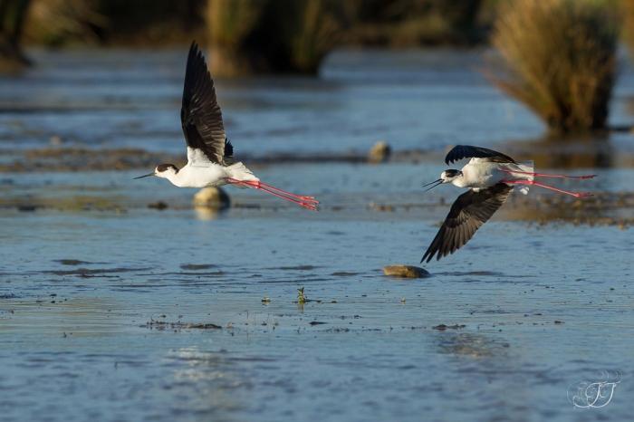 Echasse blanche-Domaine des oiseaux 10.04.2016