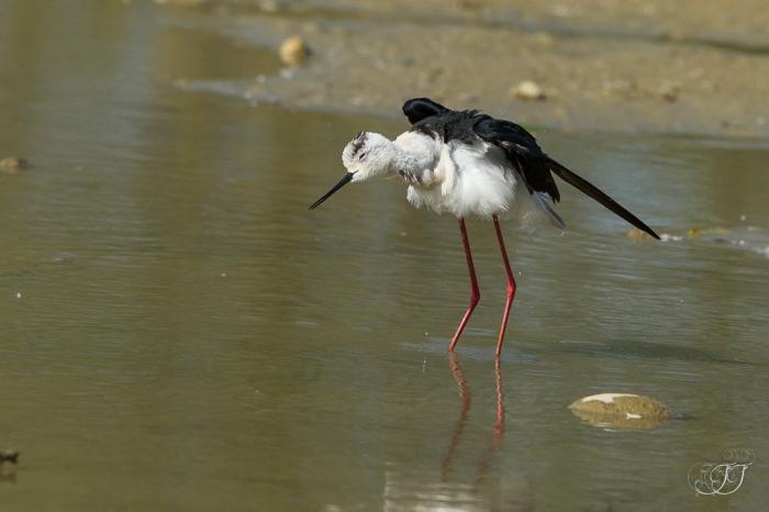 Echasse blanche-Domaine des oiseaux 28.05.2016