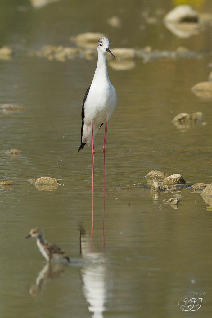 Echasse blanche-Domaine des oiseaux 04.06.2016