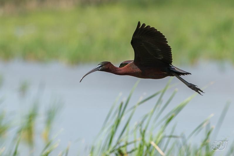 Ibis falcinelle-Les Aiguamolls 22.05.2016