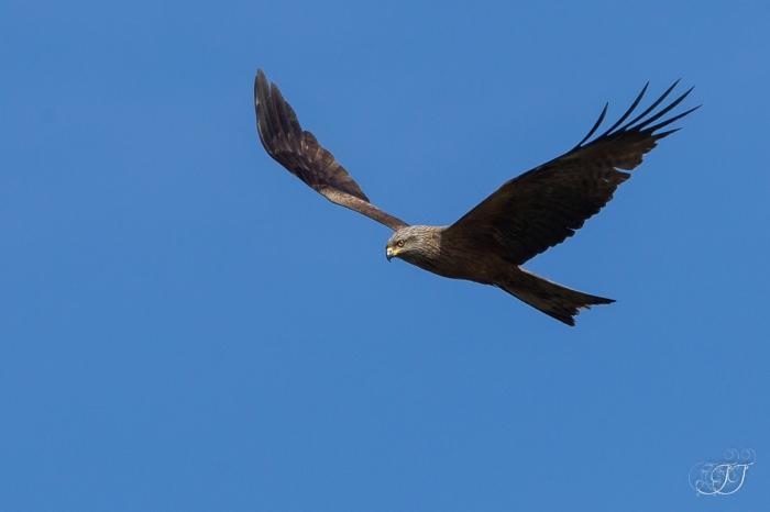 Milan noire-Réserve ornithologique du Teich 05.06.2015