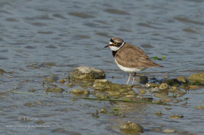 Petit gravelot-Domaine des oiseaux 13.06.2015
