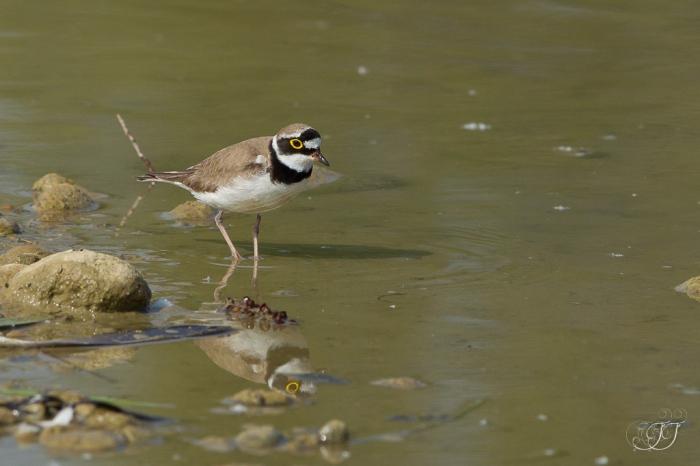 Petit gravelot-Domaine des oiseaux 04.06.2016