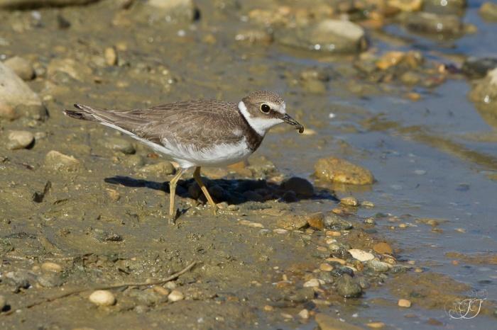 Petit gravelot-Domaine des oiseaux 16.07.2016