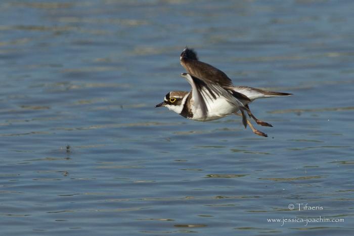 Petit gravelot-Domaine des oiseaux 08.05.2015