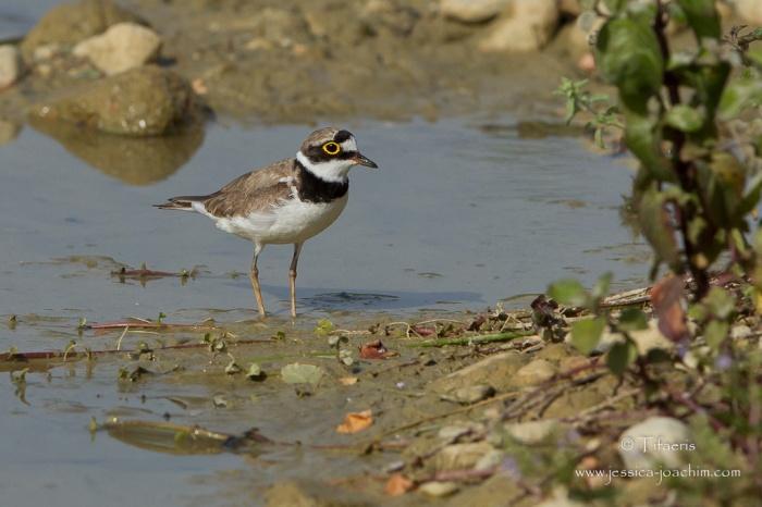 Petit gravelot-Domaine des oiseaux 04.07.2015