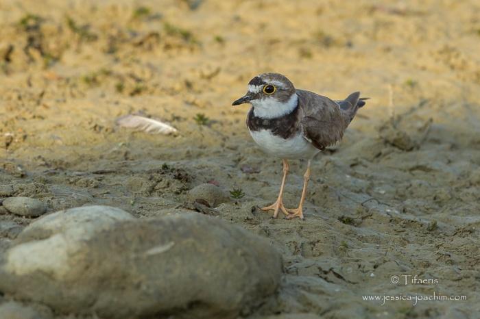 Petit gravelot-Domaine des oiseaux 18.07.2015