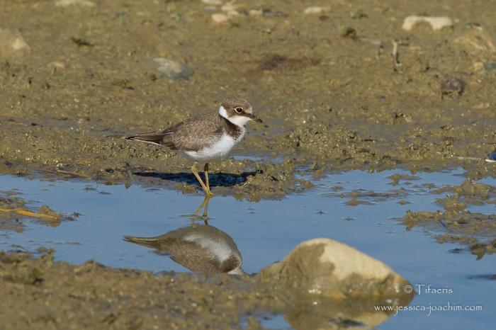 Petit gravelot-Domaine des oiseaux 26.07.2015