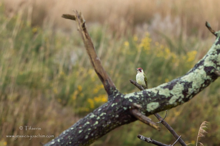 Pic vert-Réserve ornithologique du Teich 21-22.02.2015