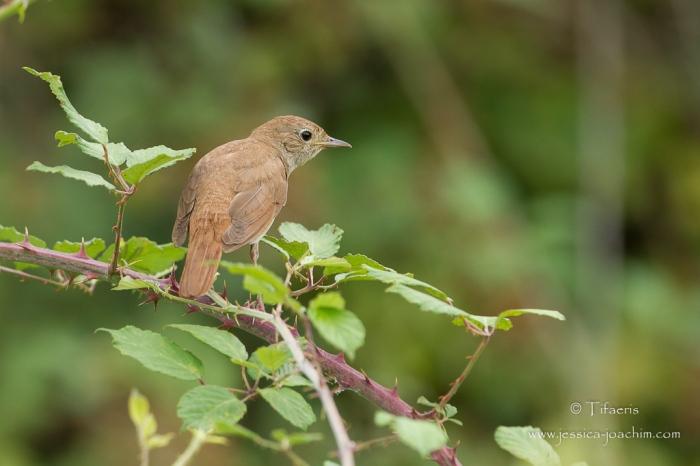 Rossignol philomèle-Domaine des oiseaux 18.07.2015