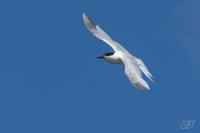 Sterne caugeke-Réserve ornithologique du Teich 05.06.2015