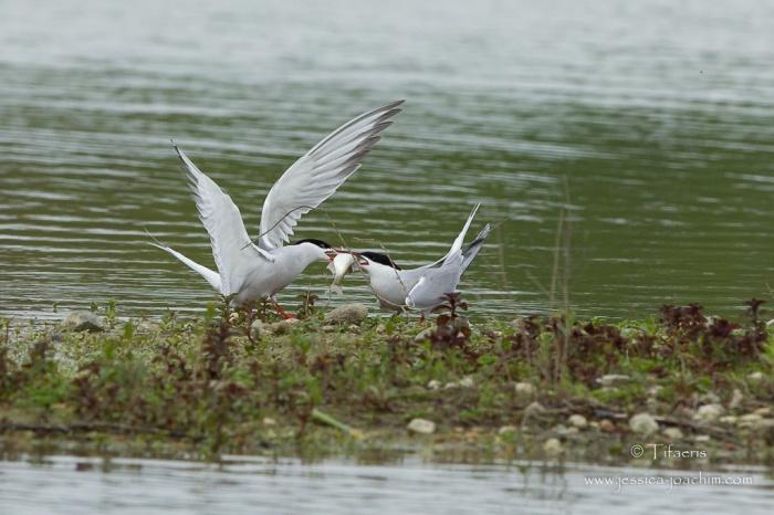 Sterne pierregarin-Domaine des oiseaux 25.04.2015