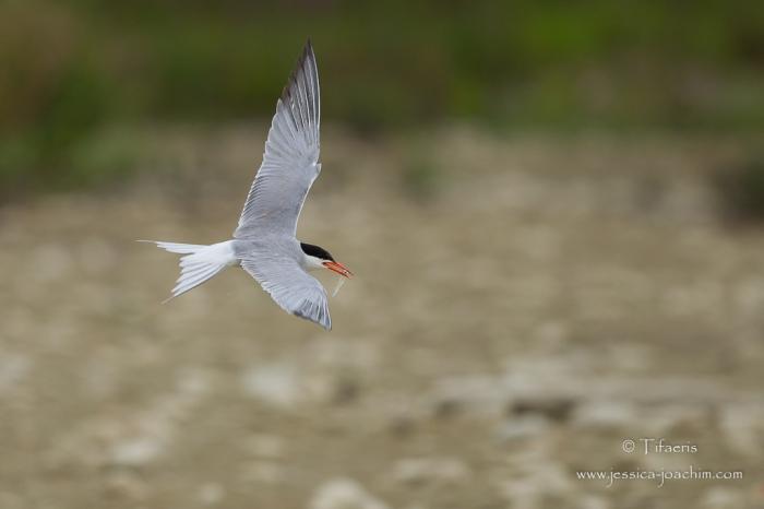 Sterne pierregarin-Domaine des oiseaux 12.07.2015