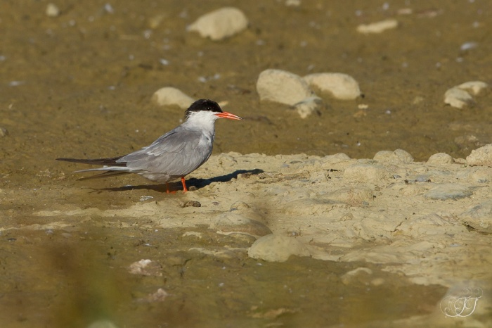 Sterne pierregarin-Domaine des oiseaux 16.07.2016
