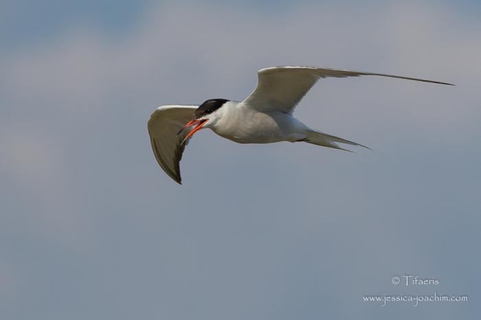 Sterne pierregarin-Domaine des oiseaux 18.07.2015