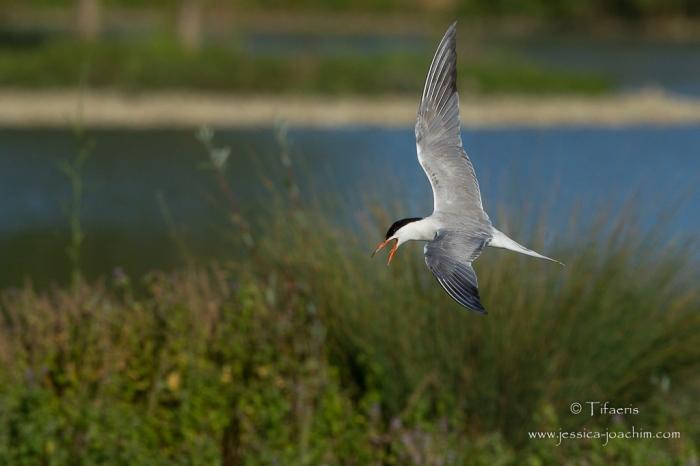 Sterne pierregarin-Domaine des oiseaux 26.07.2015