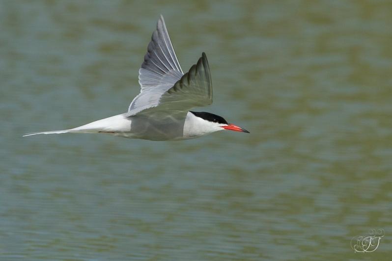 Sterne pierregarin-Domaine des oiseaux 28.05.2016