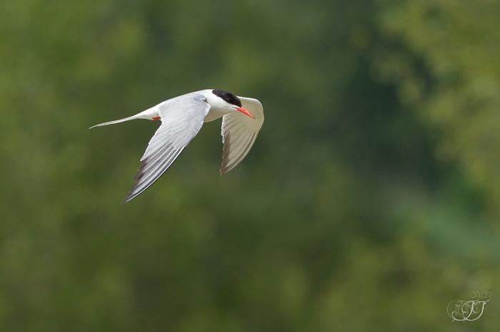 Sterne pierregarin-Domaine des oiseaux 04.06.2016