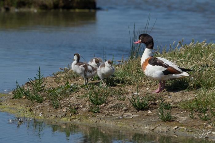 Tadorne de Belone-Réserve ornithologique du Teich 05.06.2015