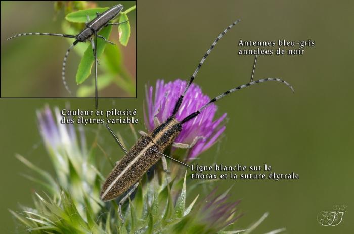 Agapanthia cardui-Agapanthia suturalis