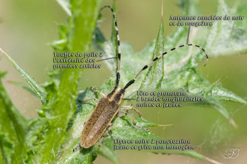 Agapanthia dahli