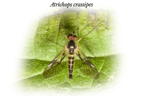 atrichops-crassipes