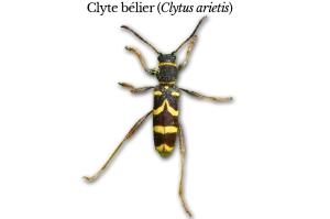 clytus-arietis
