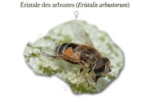 eistalis-arbustorum