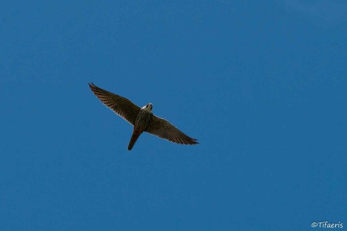 Faucon hobereau 2