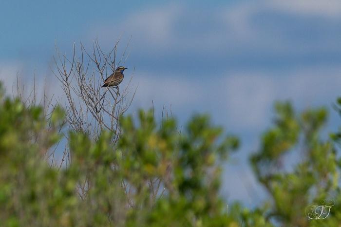 Gorgebleue à miroire-Réserve ornithologique du Teich 05.06.2015