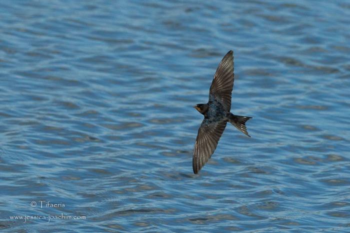 Hirondelle rustique-Réserve ornithologique du Teich 16.08.2014