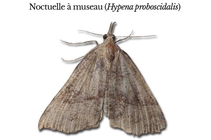hypena-proboscidalis